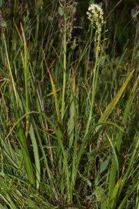 death camas plant identification