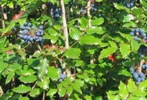 salal and oregon grape 2