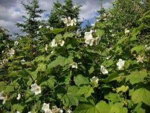 thimbleberry plant identification