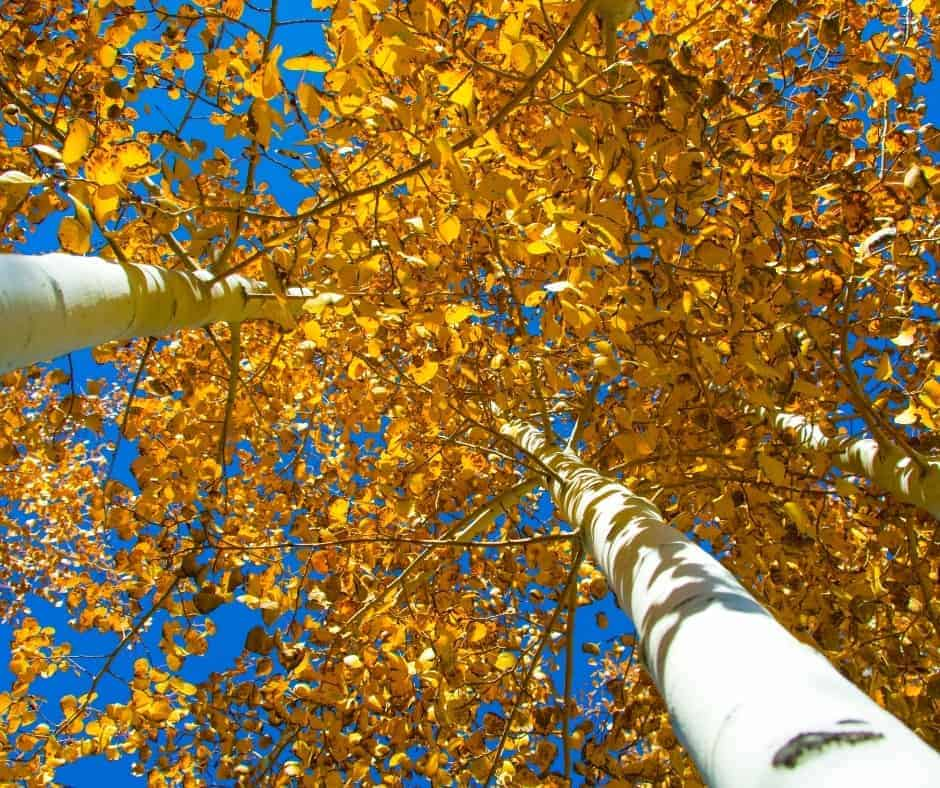 Golden aspen leaves in colorado